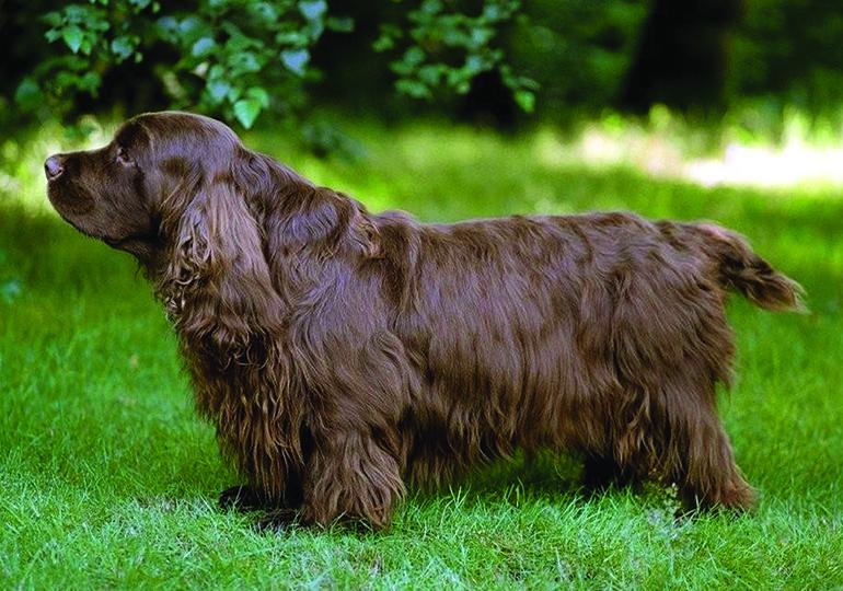 Sussex Spaniel Breeds